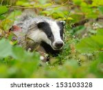 badger near its burrow in the... | Shutterstock . vector #153103328