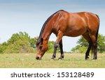 Bay Horse Grazing In Spring...