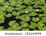 A Shot Of A Large Group Of Lily ...