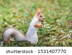 Red Gray Squirrel Hides Nuts I...