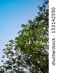 Small photo of Alstonia scholaris leaf with clear sky