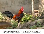 One Young Rooster Standing In...