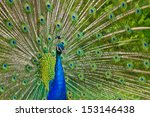 indian peafowl or blue peafowl  ... | Shutterstock . vector #153146438