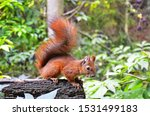 Squirrel In Autumn Park Forest. ...