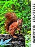 Squirrel In Autumn Park Forest...