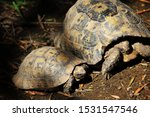 Stock photo greek tortoise testudo graeca also known commonly as the spur thighed tortoise 1531547546