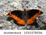 Flame Bordered Emperor Or Flam...