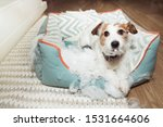 Small photo of bad naughty dog destroyed its pet bed with innocent face expression. mischief and disobey concept