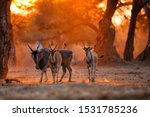 The common eland  also known as ...