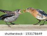 Female Eastern Bluebird  Siali...