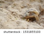 Stock photo close up baby tortoise hatching african spurred tortoise birth of new life cute baby animal 1531855103
