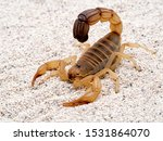 Highly venomous fattail scorpion, Androctonus australis, on sand, 3/4 view. This species from North Africa and the Middle East, is one of the most dangerous scorpions