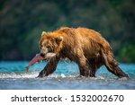 The Kamchatka Brown Bear  Ursu...