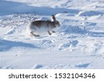 Stock photo white mountain hare lepus timidus in scottish highland these hare change their fur colour white 1532104346