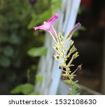 A Pink Petunia With The Sun...