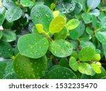 Green And Dense Foliage Of...