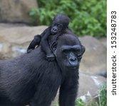 little gorilla baby is riding... | Shutterstock . vector #153248783