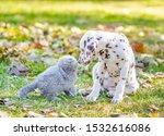 Stock photo dalmatian puppy sniffing a kitten in autumn park 1532616086