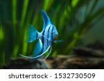 Blue Zebra Angelfish In Tank...