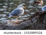 Stock photo herring gull larus argentatus in park 1532889326