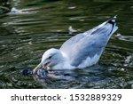 Stock photo herring gull larus argentatus in park 1532889329
