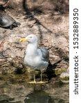 Stock photo herring gull larus argentatus in park 1532889350