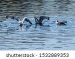 Stock photo herring gull larus argentatus in park 1532889353