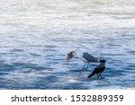 Stock photo herring gull larus argentatus in park 1532889359