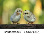 Cute Babies Chicks On Nature...