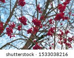 Clusters Of Red Color Mountain...