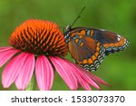 Red Spotted Purple Butterfly...