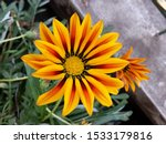 Gazania Species Are Grown For...