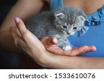 Stock photo kitten sitting on the palms of the girl in the blue shirt thoroughbred lop eared cat 1533610076