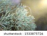 pine leaves and soft sunlight...   Shutterstock . vector #1533875726