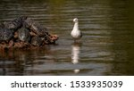A Sea Gull Watching Turtles Wh...