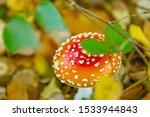Amanita Mushroom In The Autumn...