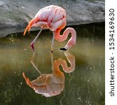 Pink Flamingo Reflecction In...