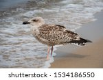 Stock photo herring young sea gull standing on the sandy beach close up 1534186550