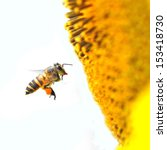 A Bee Hovering While Collectin...