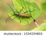 Aromia Moschata Longhorn Beetle ...