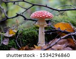 Mushroom Amanita Muscaria In...