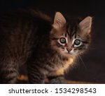 Stock photo manx kittens photographed with a macro lens mm playing in the sunset 1534298543