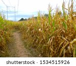 View From Inside A Corn Maze O...