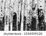 Beautiful  Aspen Trees Trunk...