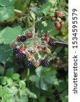 Ripening Blackberries In Summer ...