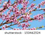some peach blossoms on the...