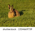 Stock photo young wild hare seen on a campground in dalsland sweden 1534669739