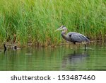 Great Blue Heron Wading In A...