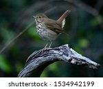 Hermit Thrush with its tail sticking up. Ferndale Preserve Clermont, Florida