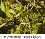 Big black beetle on the leaves